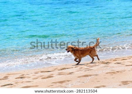 Dog running at a beach - stock photo