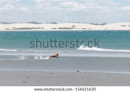 Dog running at the beach, Jericoacoara, Brazil - stock photo