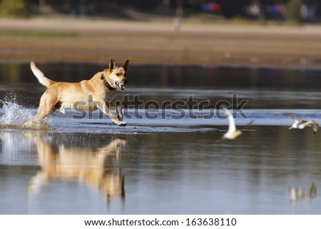 Dog running for sandpipers on water shawl - stock photo
