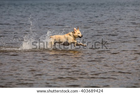 Dog running in shallow water - stock photo