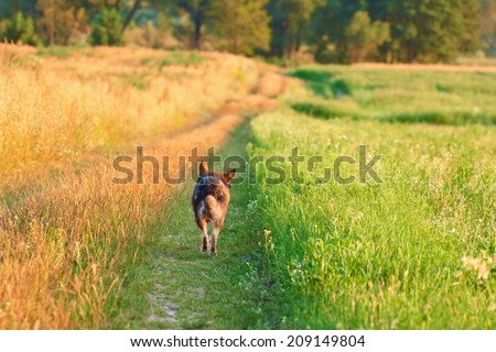 Dog running in the field - stock photo