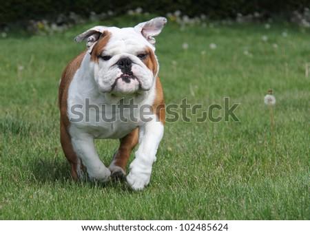 dog running in the grass - english bulldog 2.5 years old - stock photo