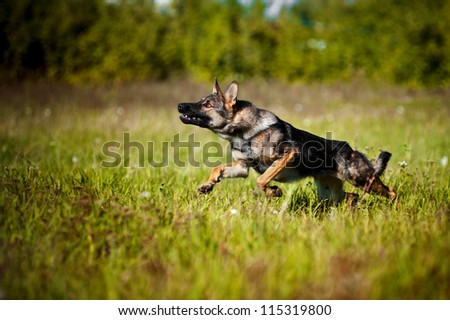 dog running on the field in summer