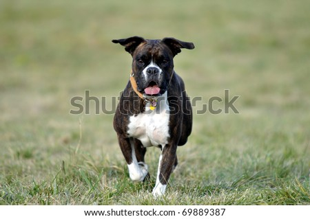 Dog running over the field