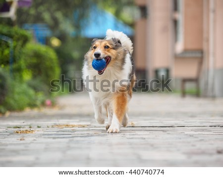 Dog, Running Shetland Sheepdog with ball in mouth. - stock photo