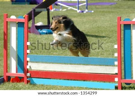 Dog running through a agility course - stock photo