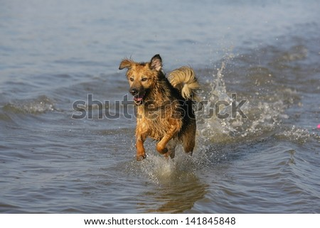 dog running through the water, dog runs on water, dog jumps into a water as he trains to retrieve decoys