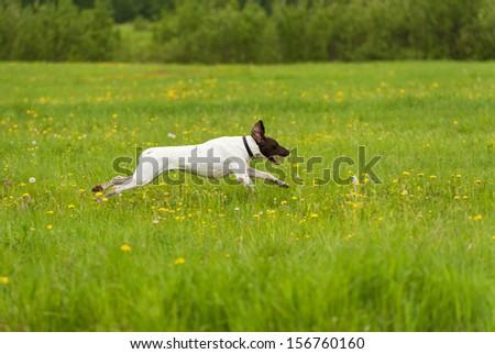 dog runs on a green grass, horizontal - stock photo