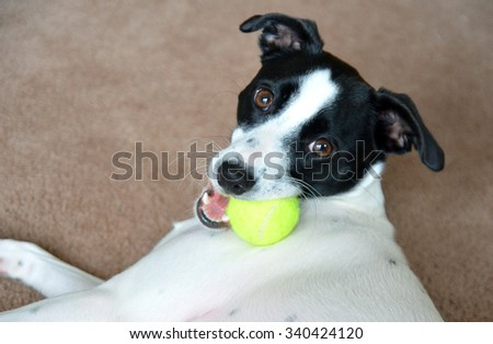 Dog. Russell terrier with tennis ball  - stock photo