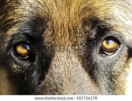 dog's eyes - stock photo