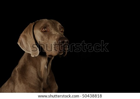 dog's face on a black background. Weimaraner