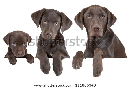 Dog's life growing stages (from puppy to adulthood) - stock photo