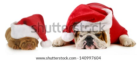 dog santa - two dogs wearing santa hats - english bulldog and dogue de bordeaux puppy - stock photo