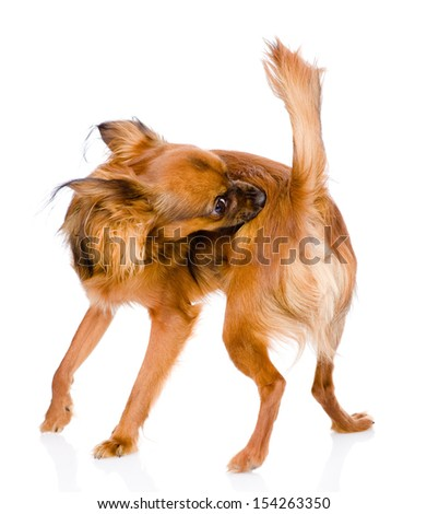 Dog self cleaning tick and flea. isolated on white background - stock photo