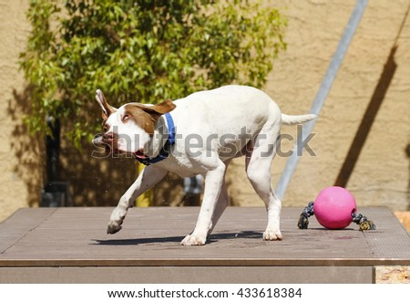 Dog shaking off water after swimming with a funny look on his face - stock photo