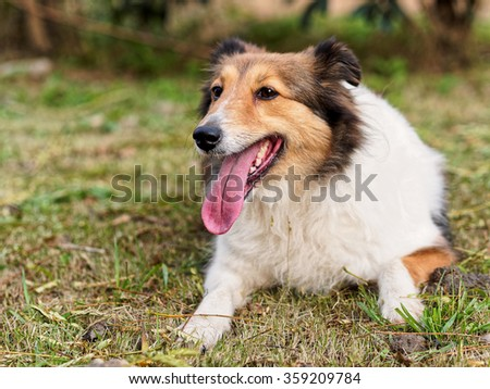 Dog, Shetland sheepdog, collie, happy face in grass field.