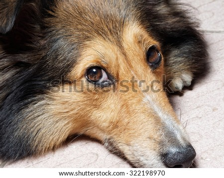 Dog, Shetland sheepdog, collie, Pleased dog lying and looking away. Studio shot.