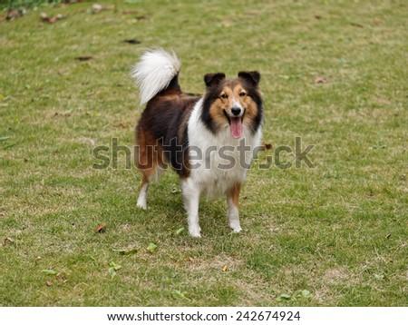 Dog, Shetland sheepdog, collie, standing on grass, she was waiting for ball retrieving - stock photo