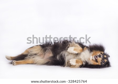 Dog, Shetland Sheepdog, lying, isolated on white background - stock photo