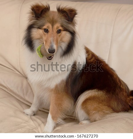 Dog, Shetland sheepdog on sofa - stock photo