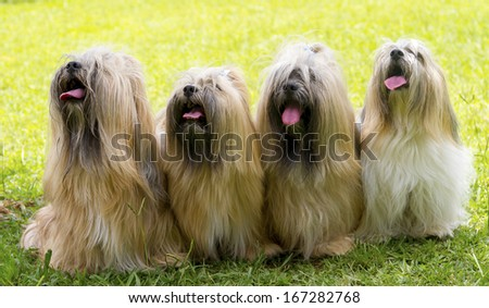 Dog Shih Tzu- - stock photo