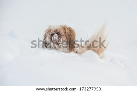 Dog shih tzu playing in snow. - stock photo
