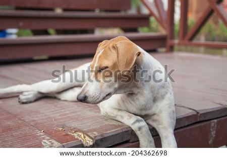 dog sit and sleep, thailand dog - stock photo