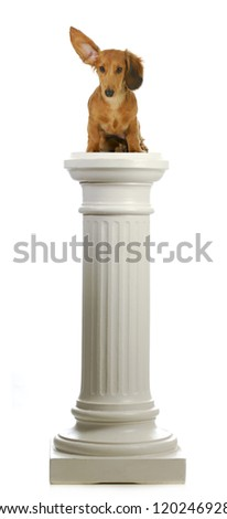 dog sitting on a pedestal - dachshund with ear up listening sitting on pillar - stock photo