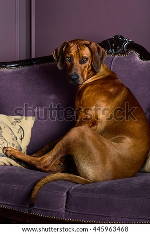 Dog sitting on a sofa watching its master