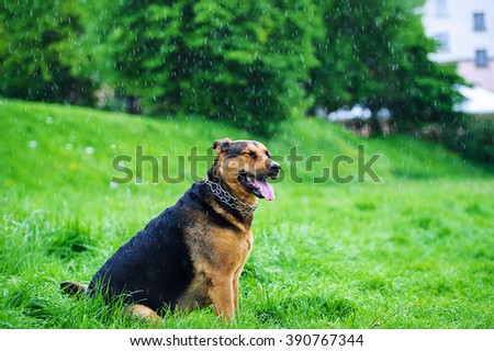Dog sitting on green grass in the rain - stock photo
