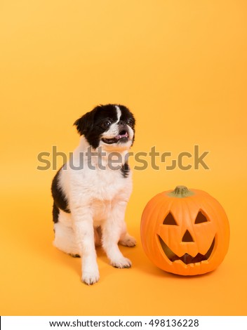 Dog Sitting on Orange Background Next to Pumpkin to Celebrate Halloween