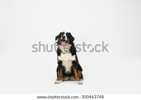 Dog Sitting on White Background with Space for Text or Image. Bernese Mountain Dog or Berner Sennenhund dog isolated. - stock photo
