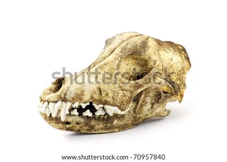 Dog skull against a white background - stock photo