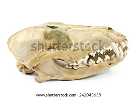 Dog skull isolated on white - stock photo