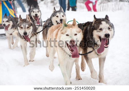 Dog sled race with husky dogs - stock photo