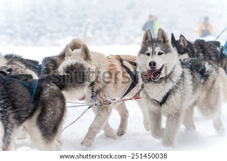 Dog sled racing with huskies - stock photo