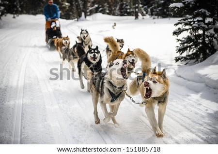 dog sledding in the mountains - stock photo