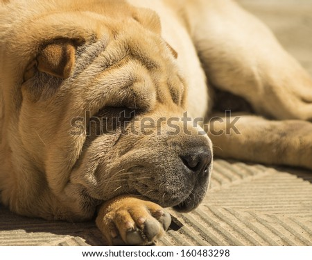 dog sleeping - stock photo