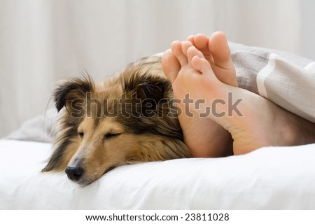 Dog sleeping on the bed by owners feet - stock photo