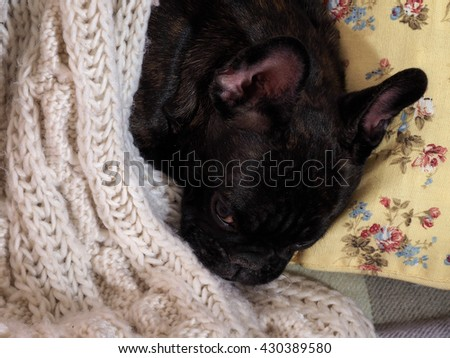 Dog sleeping on the bed, on the pillow under a knitted white blanket. Cute dog  - stock photo