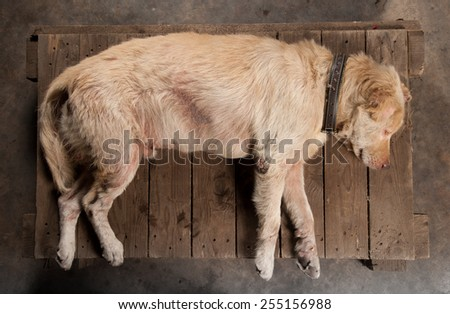 dog sleeping on the wooden ground - stock photo