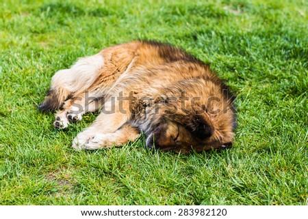 dog sleeps - stock photo