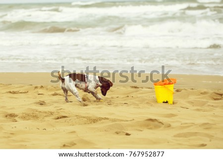 Dog small playing and digging in sand at beach on summer holiday vacation ocean shore on windy murky day on blurred seascape background, horizontal picture