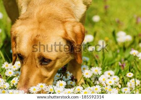 Dog Smelling Chamomiles - stock photo