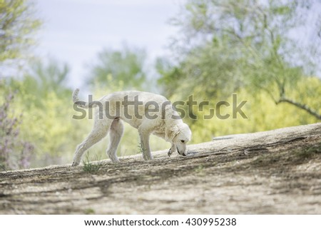 Dog sniffing the ground walking at the park  - stock photo