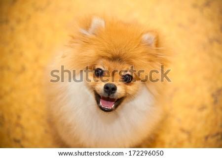 Dog spitz orange. Small dog breeds. Smiling at the camera - stock photo