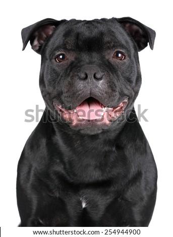 Dog Staffordshire Bull Terrier, portrait - stock photo