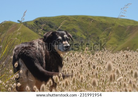 dog standing on a track among flowering Lagurus Ovatus bunnies tails or hares tails ornamental grasses beach scene New Zealand  - stock photo