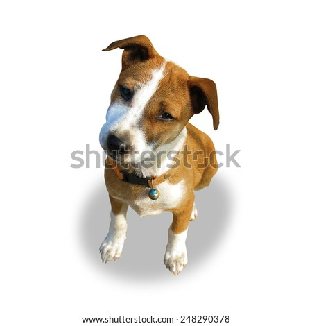Dog staring - shallow depth of field,isolated on white background, with clipping path         - stock photo
