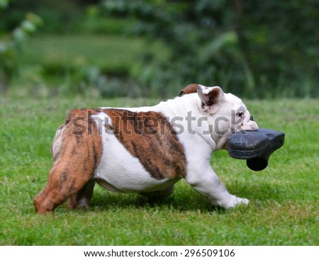 dog stealing shoe - four month old bulldog puppy
